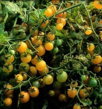 """Tomate """"Gelbe Johannisbeere"""""""