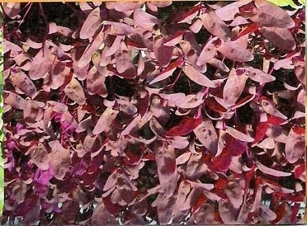 Gartenmelde, rubinrot