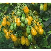 "Tomate ""Dattelwein"""