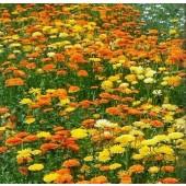 Ringelblume gelb/orange
