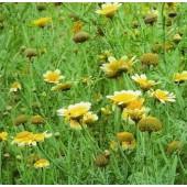 Speisechrysantheme